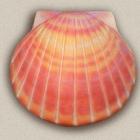 Korall színű kagyló urna